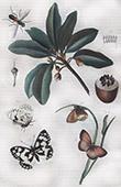 Falter - Schmetterling - Insekten - Lasiommata Megera - Pouteria Sapota