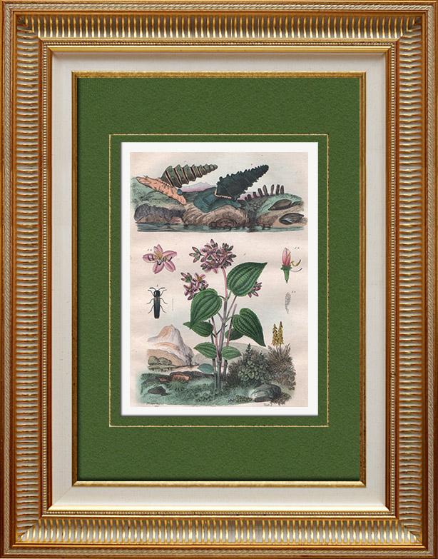 Gravures Anciennes & Dessins | Mollusques - Insectes - Fleurs - Mélastome - Melanopside - Mélanies - Melasis | Taille-douce | 1836