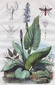 Wasserpflanze - Pontederiaceae - Insekten