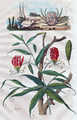 Plant - Flowers - Crab - Methonique - Miccipe