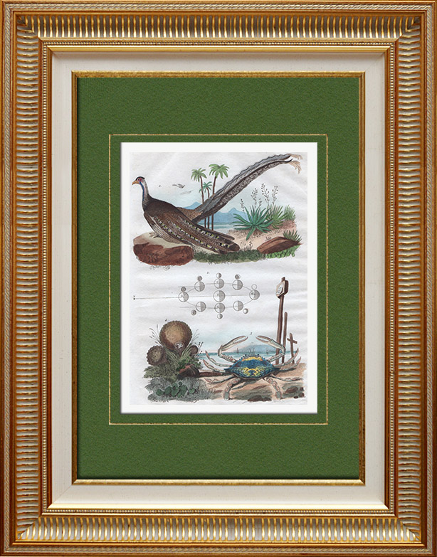Antique Prints & Drawings | Bird - Crab - Mushroom - Lycoperdon - Argus - Lupee | Intaglio print | 1836