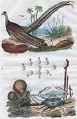 Vogel - Krabbe - Krebs - Fruchtk�rper - Lycoperdon - Argus - Lupee