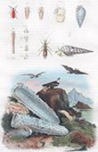 Molluschi - Conchiglia - Ucello Marino - Pygidicrane - Pyramidelles - Pyrochre - Pyrosome