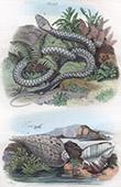 Conchiglia - Mollusco - Serpente - Python - Pyrules