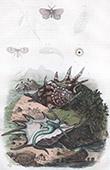 Conchiglia - Mollusco - Farfalla - Psych� - Psychode - Pt�roc�re