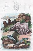 Conchiglia - Mollusco - Pleurotomes - Plicatule