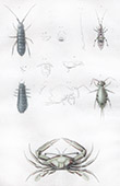 Insects - Crab - Podophthalme - Podures