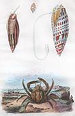 Conchiglia - Mollusco - Granchio - Mithrax - Mitres