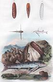 Conchiglia - Mollusco - Pesce - Mochok - Modiole Lithophage