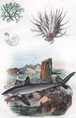 Conchiglia - Mollusco - Squalo - Pescecane - Selachimorpha - Spirule - Spondyle - Spongodium