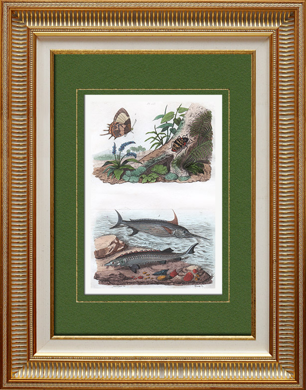 Antique Prints & Drawings   Insects - Fish - Butterfly - Swordfish - Sturgeon - Erotyle - Erycine   Intaglio print   1836