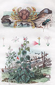 Plant - Flowers - Crab - Matute - Mauves - Mégacéphale