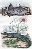 Fish - Monacanthe - Reptiles - Monitor - Flowers - Monsonie