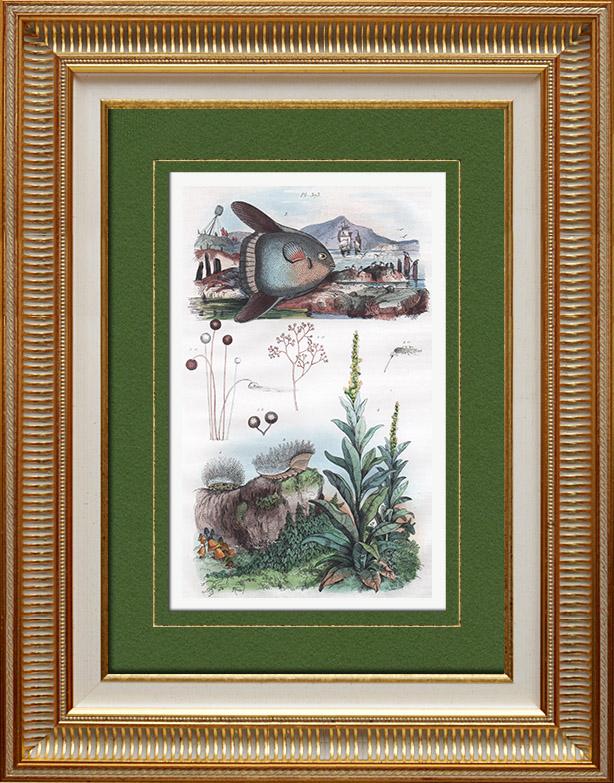 Antique Prints & Drawings   Plant - Verbascum - Mushroom - Fish - Mole   Intaglio print   1836