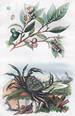 Plant - Tea - Crab - Thelphuse - Insects - Thanasime