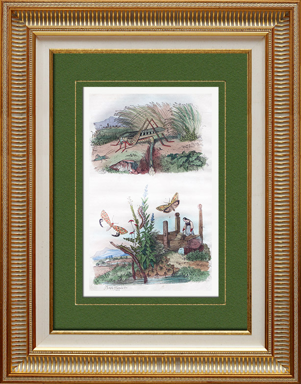 Antique Prints & Drawings   Insects - Locust - Grasshopper - Butterfly - Lithosies - Lixe   Intaglio print   1836
