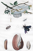 Insects - Vrillette - Xylocope - Yponomeute - Seashell - Shellfish - Volute - Vulselle