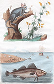 Fish - Cod - Codling - Haberdine - Gadus morhua - Monkey - Galago