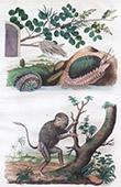 Scimmia - Hamadryade - Conchiglia - Mollusco - Haliotide - Haematoxyle