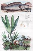 Fisch - Ophicephalus - Channa - Gew�chs - Pflanze - Farne - Ophioglossum