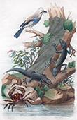 Gekko - Lizard - Crab - Gecarcin - Bird - Jay