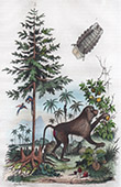 Monkey - Baboon - Cynocephale - Insects - Cymothoa - Tree - Cupressus