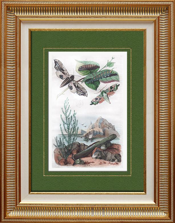 Antique Prints & Drawings | Butterfly - Smerinthes - Seashell - Shellfish - Molluscs - Mollusk - Solen | Intaglio print | 1836