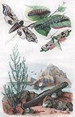 Farfalla - Smerinthes - Conchiglia - Mollusco - Molluschi - Solen