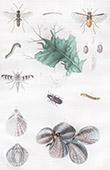 Insetti - Mosca - Tenebrion - Tenthredes - T�phrites - Conchiglia - Mollusco - Molluschi - Terebratule