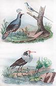 Bird - Colin - Coliou - Combattant