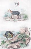 Schakal - Echsen - Chaleide - Fisch - Chaetodon - Insekten - Chaleis