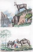Chamois - Camel - Palm Tree - Chamaerops