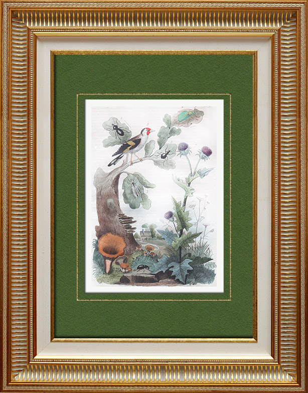 Antique Prints & Drawings | Mushroom - Craterellus - Flowers - Thistle - Goldfinch - Insects | Intaglio print | 1836