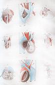 Anatomie - Vétérinaire - Coeur du Crocodile - Salamandre - Lézard - Poisson