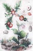 Blumen - Orchideen - Cypripede - Cypris - Cynips
