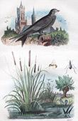 Vogel - Martinet - Wasserpflanze - Typha - Massette - Insekten - Masaris
