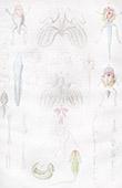 M�tamorphose - Grenouille - Anatomie