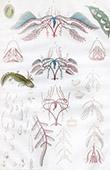 Anatomie - V�t�rinaire - M�tamorphose