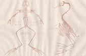 Anatomie - Squelette - Oiseau - Reptiles