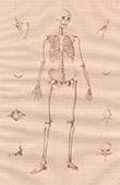 Anatomie - Squelette