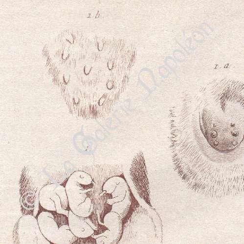 Grabados Antiguos | Anatomía - Veterinario - Ubre - Ornitorrinco ...