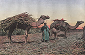 Egypt - Transportation of sugarcane - Camels