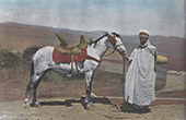 North Africa - Arabian horse