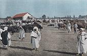 Cattle market in Sidi Bel Abbes (Algeria)