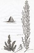 Flora in Russland - Salsola Sedoides