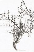 Flora in Russland - Salsola Prostrata