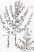 Flora in Russland - Salsola Hypsopifolia - Queller - Salicornia