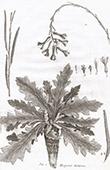 Flora in Russland - Hesperis Tatarica