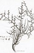 Flora in Russland - Salsola Arbuscula