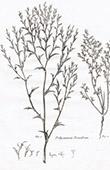Flora in Russland - Polycnemum Triandrum